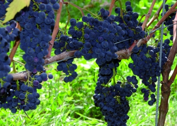 Wijndomein Zwaeneberg (Vineyard)